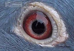 DV09-09711-573_eye_Tasipigeons