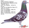 pigeons1